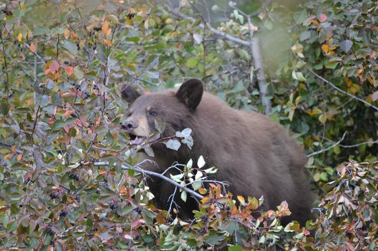 Laurance Rockefeller Preserve: Cinnamon black bear up a tree