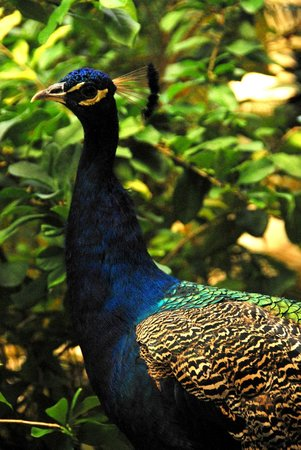 The Palace at Playa Grande: Resident peacock