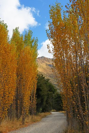 Edgewater : Lakeside walk - autumn poplars