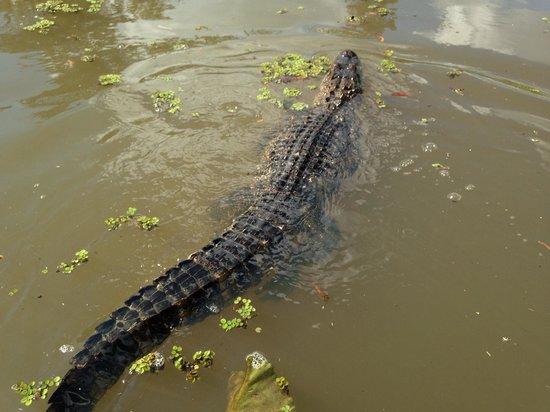 Pearl River Eco Tours : Alligator breast stroke