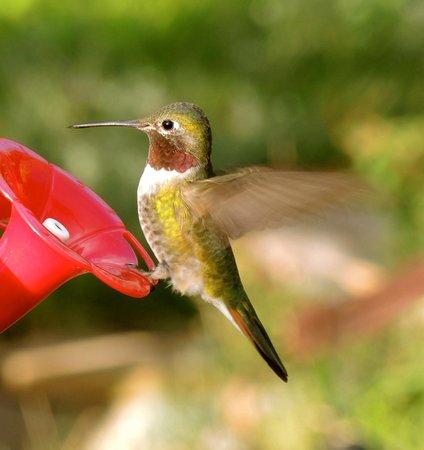 Ravens Ridge: Hummingbird