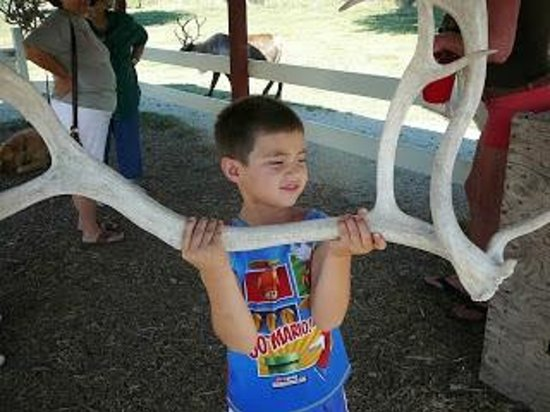 Hardy's Reindeer Ranch : They shed their antlers every year and they grow this big in three months, who knew?