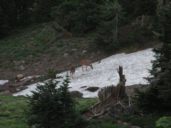 Timberline Lodge: Deer!