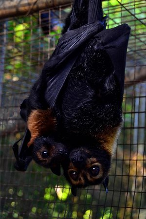 The Bat Hospital Visitor Centre: Yasi with her baby