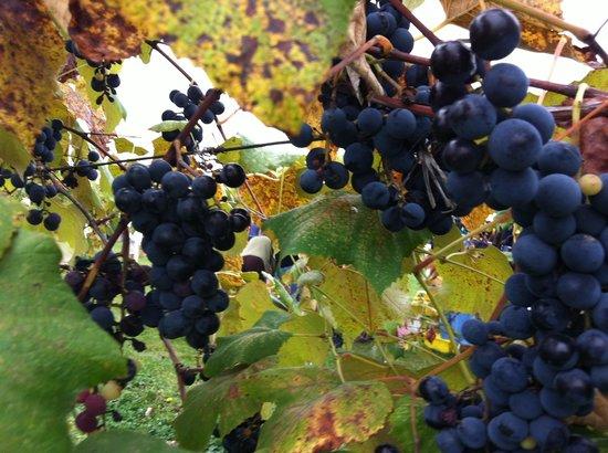 Hunt Country Vineyards: Harvest