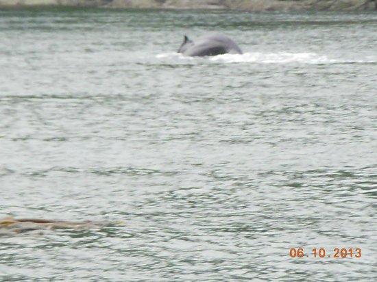 Discovery Marine Safaris Ltd.: Humpback whale