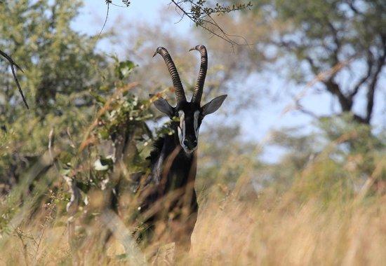 Selinda Adventure Trail: The beautiful Sable Antelope