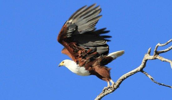 Selinda Adventure Trail: African Fish Eagle