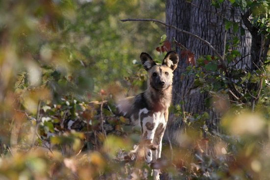 Selinda Adventure Trail: The alpha female to the pack of African Wild Dog that denned close to one camp. A very rare and