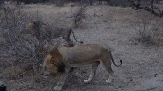 Gomo Gomo Game Lodge: Lions