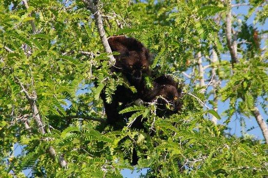 Natura Lodge Nosy Be: nos peluches vivantes les lémuriens