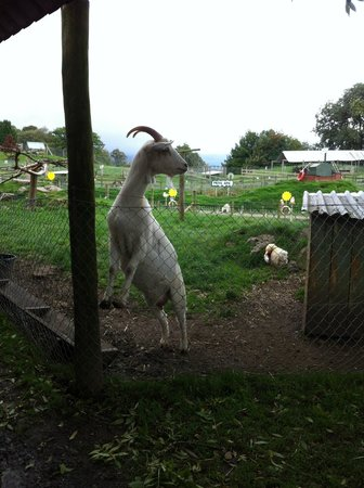 Auchingarrich Wildlife Centre: Forever hungry goat