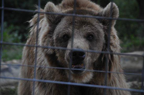 Libearty Bear Sanctuary Zarnesti : Bear eyes - September 2013