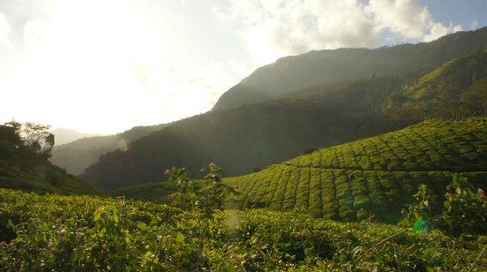 Spice Country Resorts: Tea gardens near the resort