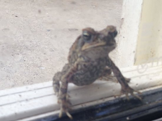 Gecko's Resort : Frogs everywhere at Geckos.