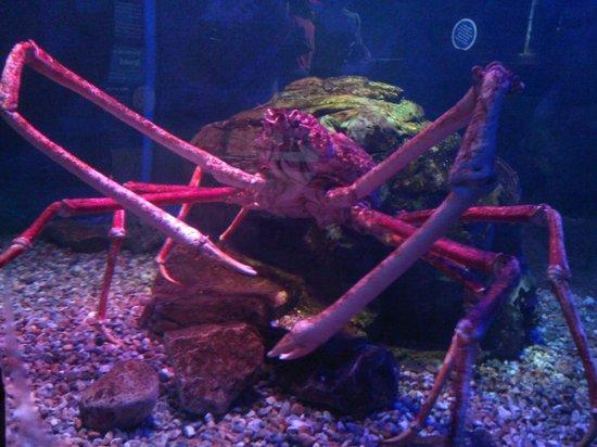 Sea Life Blackpool : Big Daddy Crab