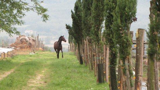 Agriturismo La Colombaia: lo stallone   in giro  nei dintorni , libero.