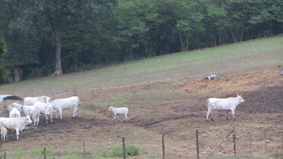 Agriturismo La Colombaia: le mucche al pascolo