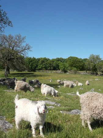 Loubressac, فرنسا: les chèvres angora en parcours sur le causse