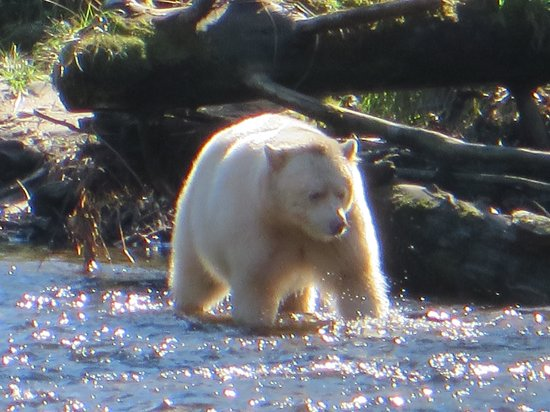 Spirit Bear Lodge: Wow, the elsuive and very rare Spirit Bear