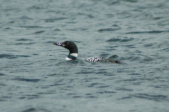 Moosehead Hills Cabins : Loon in front of dock!