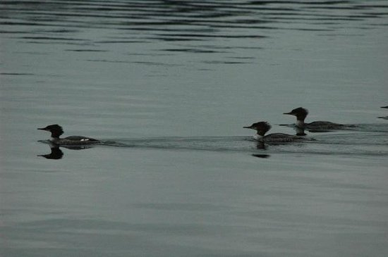 Moosehead Hills Cabins : Mergansers in front of dock