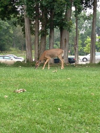 Deer grazing on the lawn