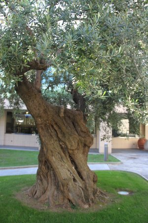 Museo dell'Olivo : Ancient olive tree