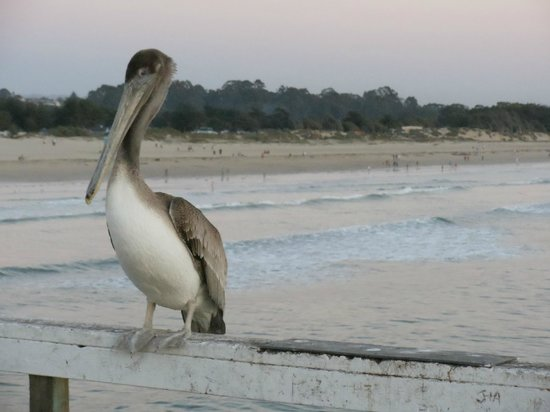 Edgewater Inn & Suites: Pelican on the nearby pier at Pismo beach