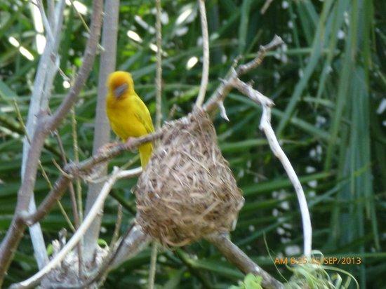 Turtle Bay Beach Club: resident weaver birds