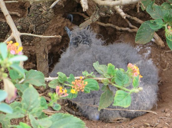 Kilauea Lighthouse: fuzzy little baby red footed boobies