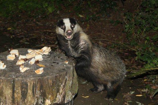 Cwm Connell Coastal Cottages : Badger enjoying peanut butter sandwiches outside Yr Ffald