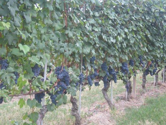 Palas Cerequio : Barolo Wine Grapes