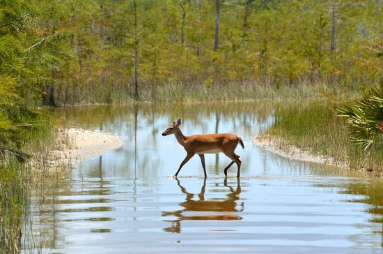 Captain Steve's Swamp Buggy Adventures : Doe crossing a quiet, water covered path in front of our buggy.