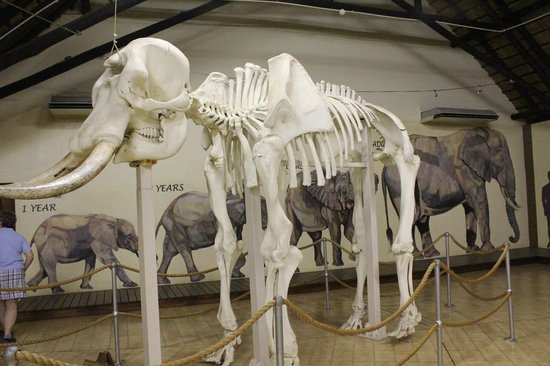 Letaba Rest Camp: elephant in the museum