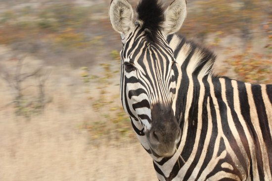 Letaba Rest Camp: you looking for me, just outside of letaba