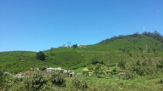 Villa de Roshe : Rolling Hills of tea