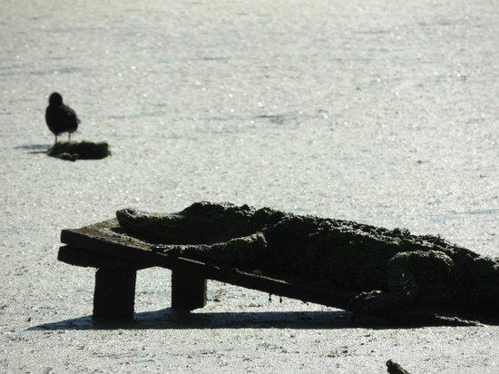 Audubon Swamp Garden: Large Alligator