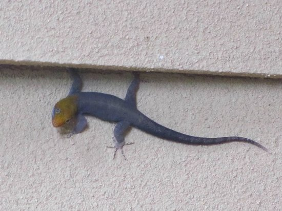 Hotel Manatus: Cool gecko/lizard outside our hotel room