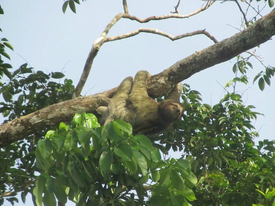 Hotel Manatus: Sloth seen during hotel boat tour