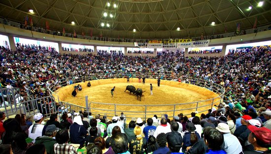 Okinawa Prefecture, Japan: okinawan bullfight