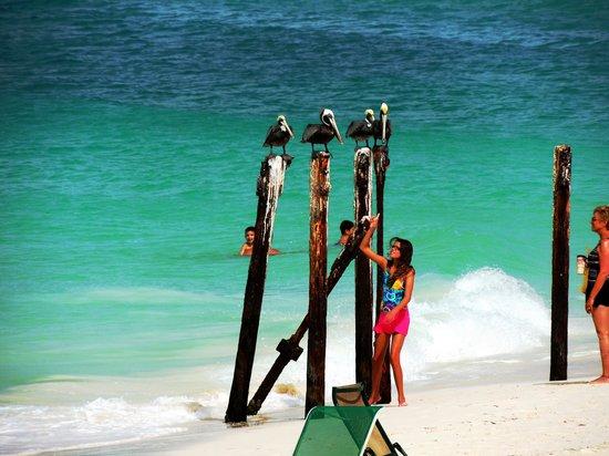 Tamarijn Aruba All Inclusive : pelicans at the beach