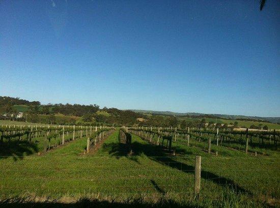 Enjoy Adelaide: grape vines in Barossa Valley