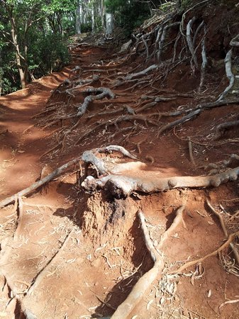 Aiea Loop Trail: Muddy roots on the trail