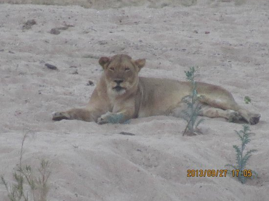 Ngwenya Lodge: Lioness infront of chalet