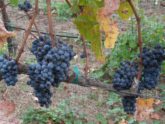 The Meritage Resort and Spa: Grapes on property vineyard just before harvesting