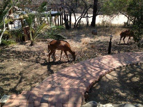 Monwana Game Lodge: Resident Nyala
