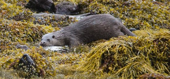 Wild About Mull Wildlife Tours : Otter just came to shore right in front of us