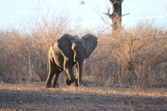 Imbabala Zambezi Safari Lodge: Elephants in Camp