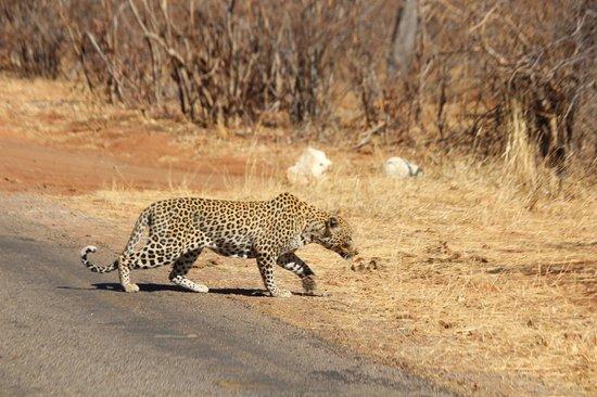 Imbabala Zambezi Safari Lodge: The amazing Leopard we saw!